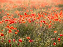 Abstract Poppies, Falmer, East Sussex, UK stock image