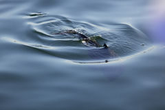 Abstract porpoise swimming Stock Photo