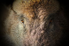 Abstract portrait of wild boar Stock Images