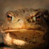 Abstract portret van gemeenschappelijke bruine kikker Royalty-vrije Stock Fotografie