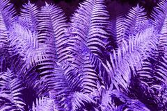 Abstract purple fern leaves background close up, fantastic violet color bracken foliage texture, blue tropical frond leaves. Abstract purple fern leaves stock photos