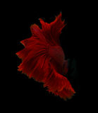 Abstract red fin siamese fighting fish isolated on black backgro Royalty Free Stock Photography