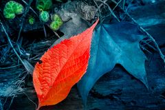 Abstract red leaf on blue background royalty free stock photography