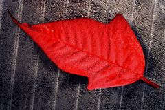Abstract red  leaf Royalty Free Stock Image