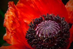Abstract red open poppy over dark Royalty Free Stock Photo