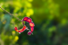 Abstract red peel tamarind, red fruit in sunshine on nature background Royalty Free Stock Image