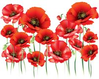 Abstract red poppies. With buds on white background Royalty Free Stock Photography