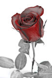 Abstract red rose with grey leaves Stock Images