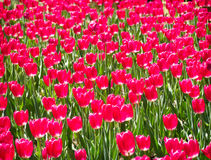 Abstract Red Tulip Background Stock Image