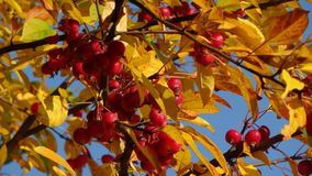 Abstract red and yellow leaves on sunny day, royalty free stock photography