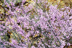 Abstract - Redbud blooms against a rock cliff. Stock Images