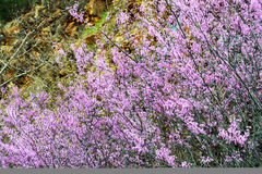 Abstract - Redbud blooms against a rock cliff. Royalty Free Stock Photography