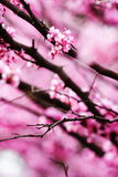 Abstract redbud blossom background. Royalty Free Stock Images