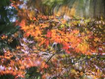 Abstract reflection of autumn maple tree on pond surface stock photography