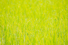 Abstract rice field with bokeh for background,extremely shallow Royalty Free Stock Photography