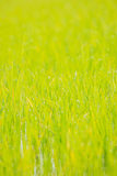 Abstract rice field with bokeh for background,extremely shallow Stock Images