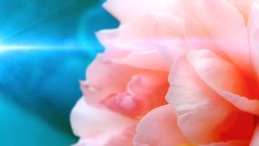 Abstract romance background with rose in soft style. Royalty Free Stock Images