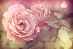 Abstract romantic pink roses flowers. With water drops. Floral background with soft selective focus. Vintage style processing image with coloration royalty free stock image