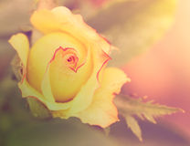 Abstract romantic yellow rose flower with  drops. Floral background with soft selective focus. Vintage style processing image with coloration Royalty Free Stock Photo