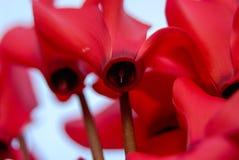 Abstract rood de bloesem stijgend perspectief van de bloeminstallatie Royalty-vrije Stock Afbeelding