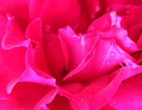 Abstract Rose Background with water droplets Stock Photography