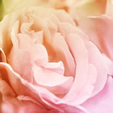 Abstract rose flower background. Flowers made with color filters Stock Images