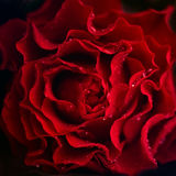 Abstract rose flower background. Flowers made with color filters. Dark red background. Royalty Free Stock Photography