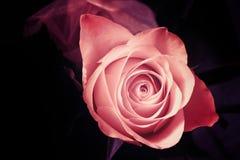 Abstract rose Stock Photos