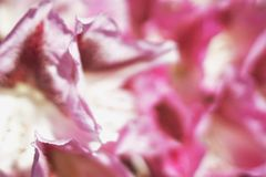 Abstract satin pink texture made from petals of decorative flower, shallow depth of field Stock Photo