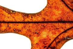 Abstract schot van een achter aangestoken droog eiken blad, die cellen en bladstructuur openbaren Royalty-vrije Stock Foto's