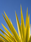 Green Yucca Leaves Blue Sky Stock Photography