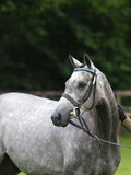 Horse Headshot in Bridle Stock Image
