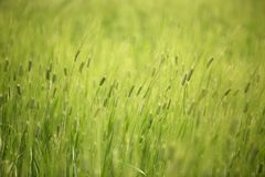 Abstract shot of wheat Stock Image