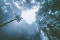 Abstract silhouette upward tree in forest with fog in morning. Abstract silhouette upward tree in forest with fog in morning Royalty Free Stock Photos