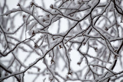 Abstract of snow laden birch branches looking up closeup. This black and white looking abstract design is random and squiggly and quite pretty.  It shows the Royalty Free Stock Photography
