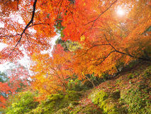 Abstract Soft and blur autumn leaves in Japan Stock Image