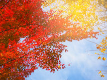 Abstract Soft and blur autumn leaves in Japan Stock Images