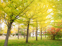 Abstract soft and blur Gingo tree in autumn Stock Images