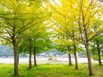 Abstract soft and blur Ginkgo tree in autumn Stock Image