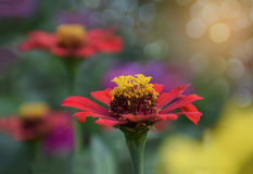 Abstract soft blurred and soft focus colorful of Zinnia,Youth,Ol. D Age,Zinnia elegans,Compositae,flower with the bokeh, the beam, light and lens flare effect Royalty Free Stock Photos