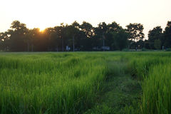 Abstract soft blurred and soft focus the silhouette of the sunset with the reproductive stage brown paddy rice field and the beaut royalty free stock photo