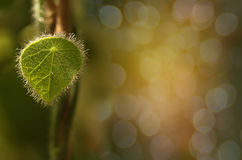 Abstract soft blurred and soft focus the surface texture of green leaves with the bokeh,the beam light and lens flare effect tone. Abstract soft blurred and Stock Image