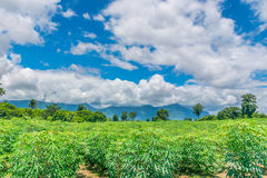 Abstract soft focus the cassava, tapioca plant field with the beautiful sky and cloud in Thailand. Royalty Free Stock Image