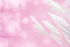 Abstract soft focus of pink lighting softness Feather Grass background Royalty Free Stock Photography