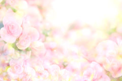 The abstract soft sweet pink flower background from begonia flowers Royalty Free Stock Photography