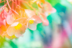Abstract soft sweet pink flower background from begonia flowers.  Royalty Free Stock Photos