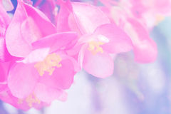 Abstract soft sweet pink flower background from begonia flowers stock photo