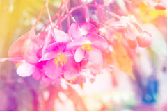 Abstract soft sweet pink flower background from begonia flowers Stock Photos