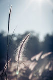 Abstract softness white Feather Grass with retro sky blue backgr Royalty Free Stock Photo