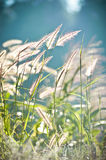 Abstract softness white Feather Grass with retro sky blue backgr Stock Images